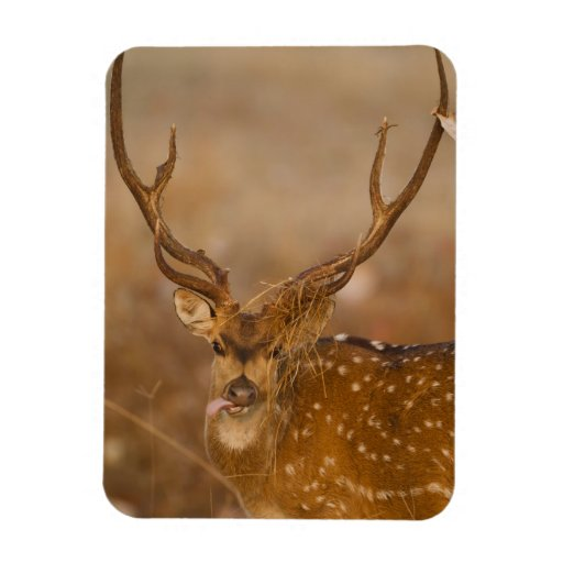 Chital or Cheetal, Spotted Deer, male grazing Flexible Magnets