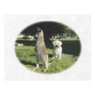 Chloe the Kangaroo & Oliver the Bichon Frise Gifts Postcard