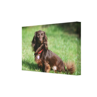 Chocolate and Tan Long-haired Miniature Dachshund Canvas Print