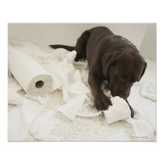 Chocolate brown labrador. poster