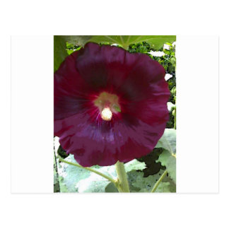 Chocolate Hollyhock Postcard
