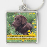 Chocolate Lab in California Poppy Patch