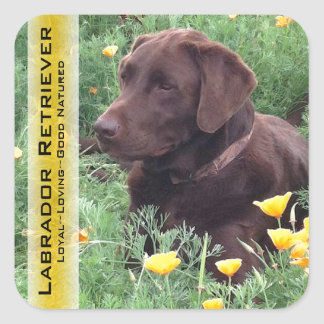 Chocolate Lab in California Poppy Patch Square Sticker