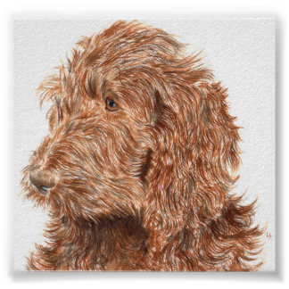 Chocolate Labradoodle #2 Print