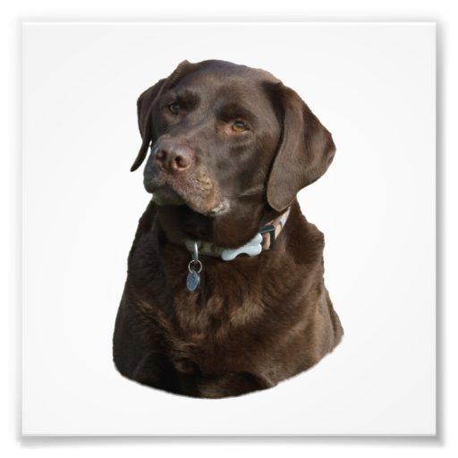 Chocolate Labrador photo portrait