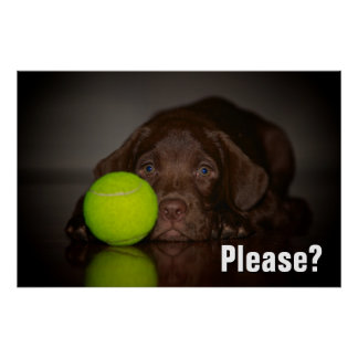 Chocolate Labrador Puppy With Tennis Ball Poster
