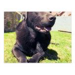 Chocolate Labrador Relaxing in the Garden on a Bri Post Card