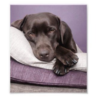 Chocolate labrador retriever dog sleepy on pillows photo print