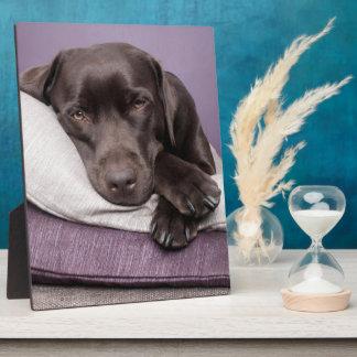 Chocolate labrador retriever dog sleepy on pillows plaque