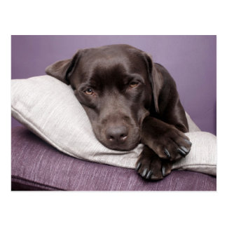 Chocolate labrador retriever dog sleepy on pillows postcard