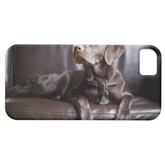 Chocolate Labrador Retriever iPhone 5 Cover