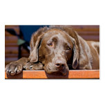 Chocolate Labrador Retriever Photograph