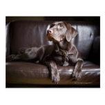 Chocolate Labrador Retriever Post Card