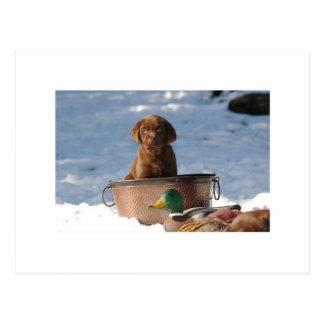 Chocolate Labrador Retriever Postcard