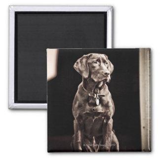 Chocolate Labrador Retriever Square Magnet
