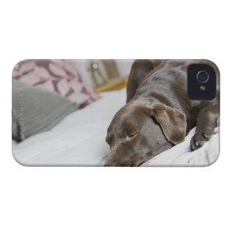 Chocolate labrador sleeping on bed iPhone 4 cases