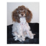 Chocolate Parti Poodle with toy