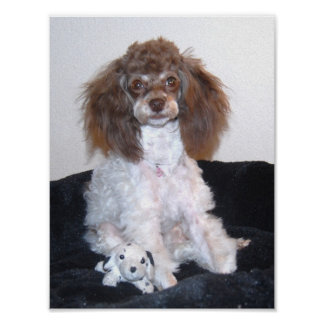 Chocolate Parti Poodle with toy Poster