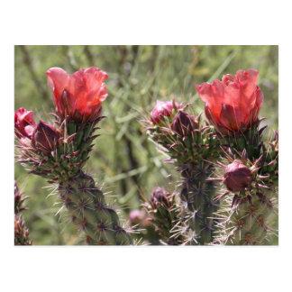 Cholla Flowers Postcard