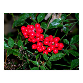 Christmas Berries Postcard