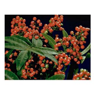 Christmas berry tree (Schinus terebinthifolius) Postcard