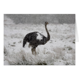 Christmas card - ostrich