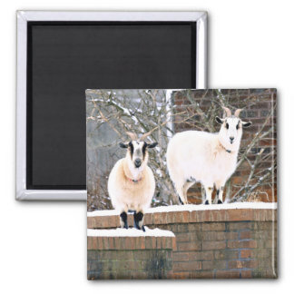 Christmas Goats Square Magnet
