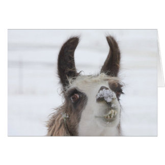Christmas Llama with Snow on Nose for the Holidays Card