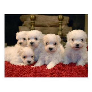 Christmas Maltese Puppies Postcard