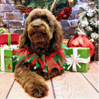 Christmas - Mini GoldenDoodle - Charlie Photo Cut Out
