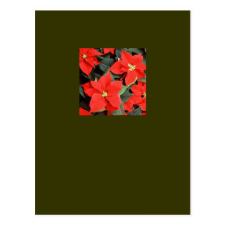 Christmas Red Poinsettia Plants Postcards