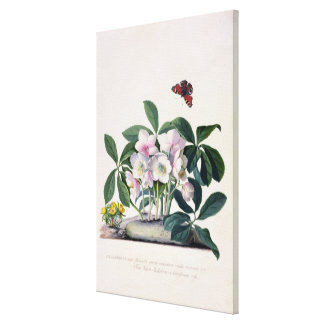 Christmas Rose (Helleborus niger) and Winter Aconi Canvas Print