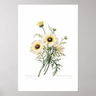 Chrysanthemum carinatum poster