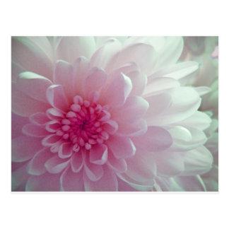 Chrysanthemum flow postcard