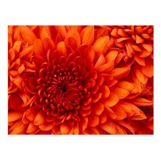 Chrysanthemum Flowers Postcard