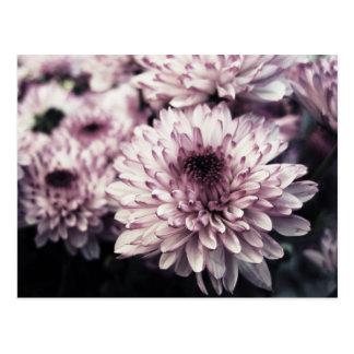 Chrysanthemum I Postcard