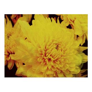 Chrysanthemum II Postcard