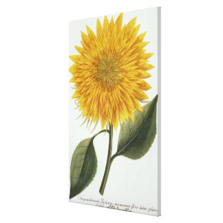Chrysanthemum Indicum from 'Pythanthoza Iconograph Canvas Print