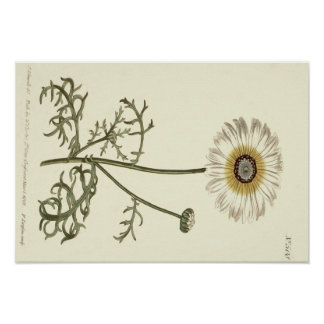 Chrysanthemum Tricolor Yellow Illustration Poster