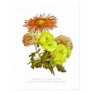 Chrysanthemums Post Cards