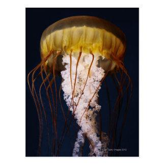 Chrysaora fuscescens,  Pacific Sea nettle Postcard