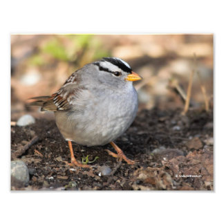Chubby White-Crowned Sparrow in the Winter Sun Photo Print