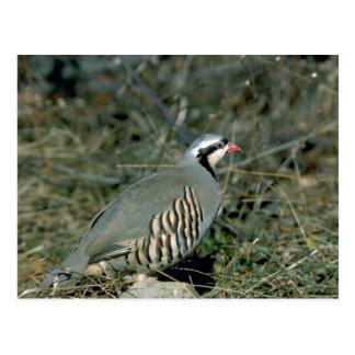 Chukar partridge postcard