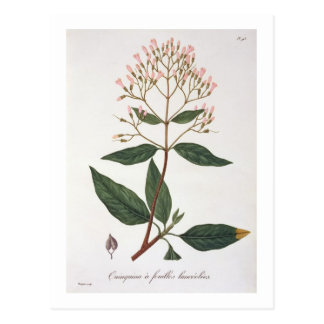 Cinchona from 'Phytographie Medicale' by Joseph Ro Postcard