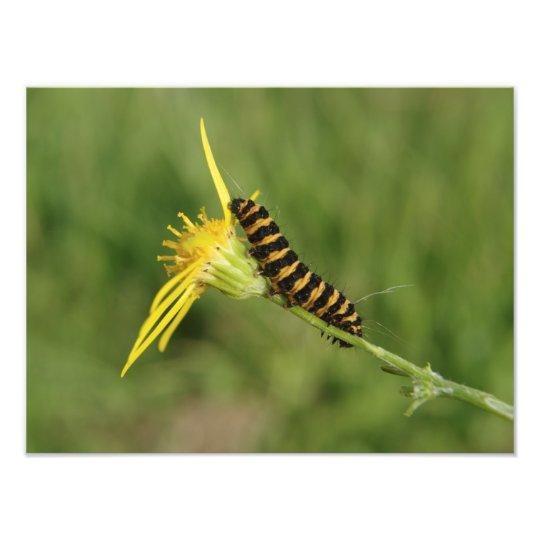 Cinnabar Moth Caterpillar On Ragwort Photo Print