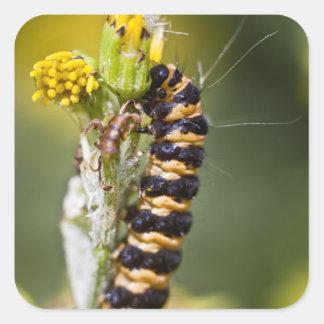 Cinnabar moth Orange Stripey Caterpillar Square Sticker