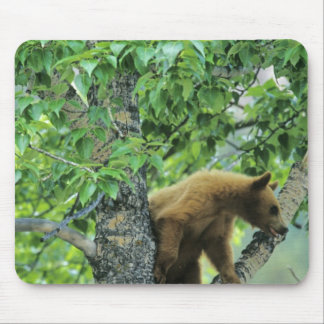 Cinnamon colored black bear in aspen tree in mouse mat
