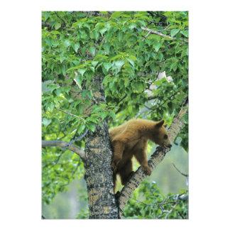 Cinnamon colored black bear in aspen tree in photo print