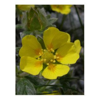 Cinquefoil Blossom, Unalaska Island Post Card