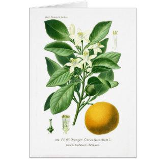 Citrus auranticum (Seville orange) Card